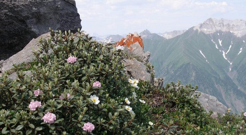 sagan daylya gory - Саган-Дайля — ароматная трава для чая